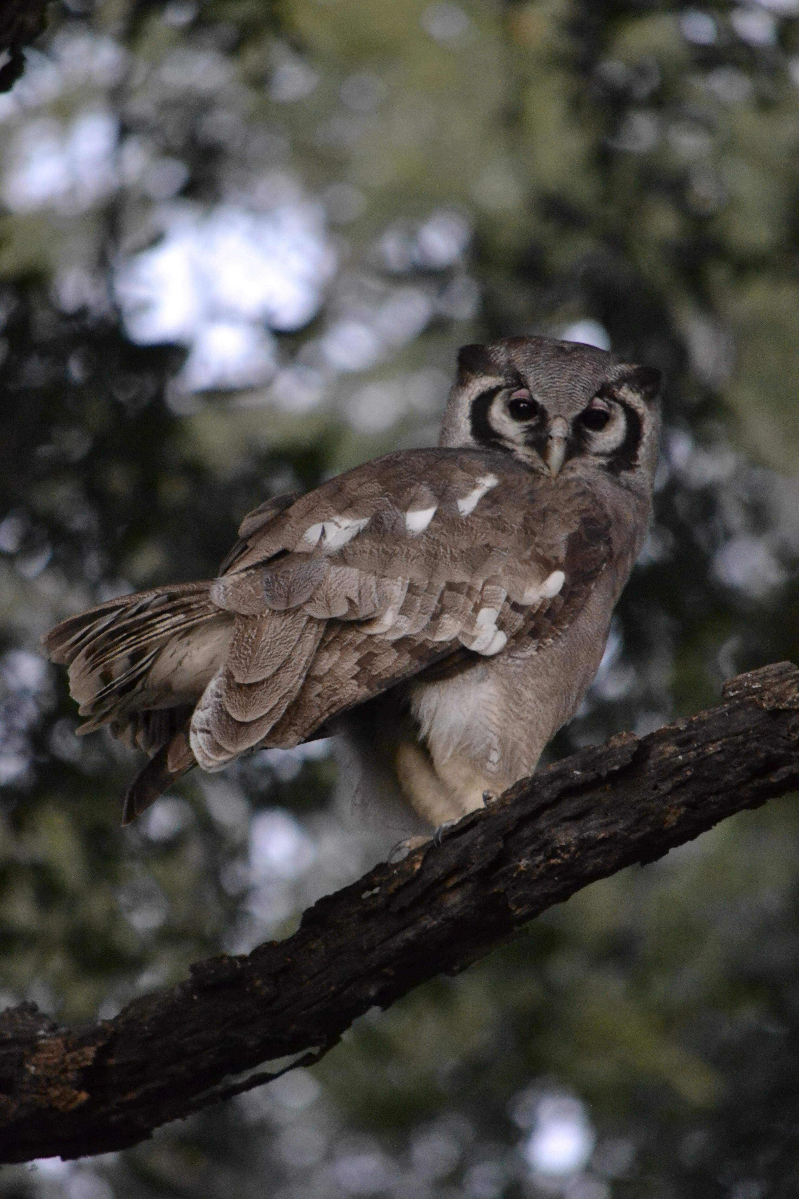 Verreaux's Eagle-owl or Giant Eagle Owl (Bubo lacteus)