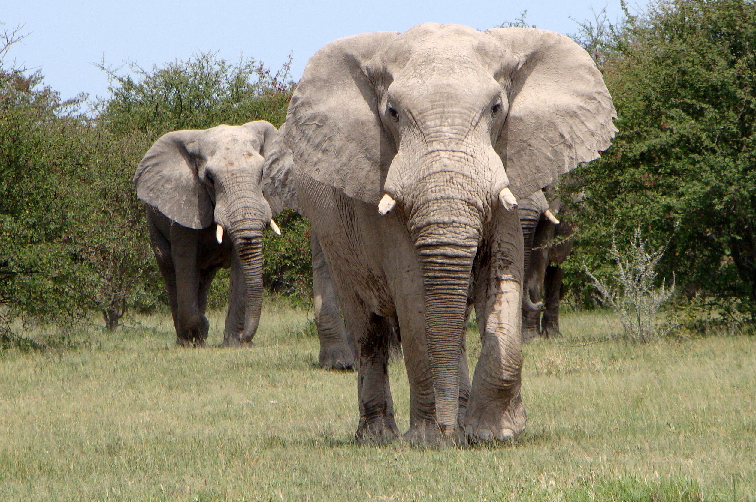 F.Paschoal.Desert. Elephants in Nxai Pan. Guide - George. tour oparator - Safari Destinations(Kar