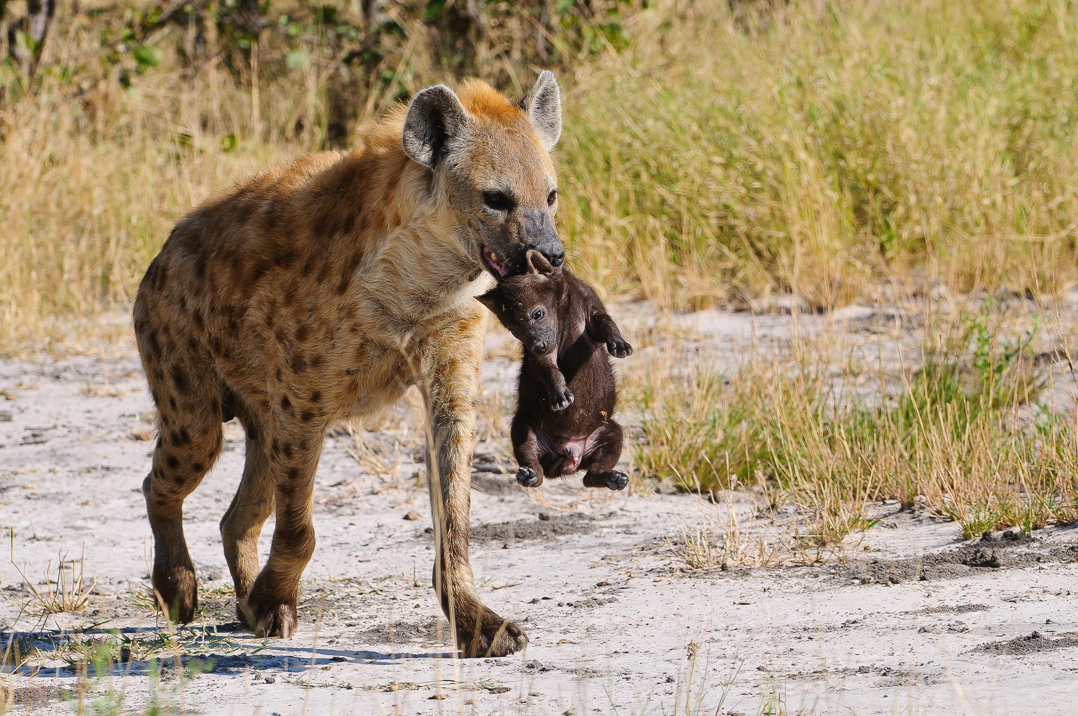 LAGOON - davidlloyd-cat7-hyena