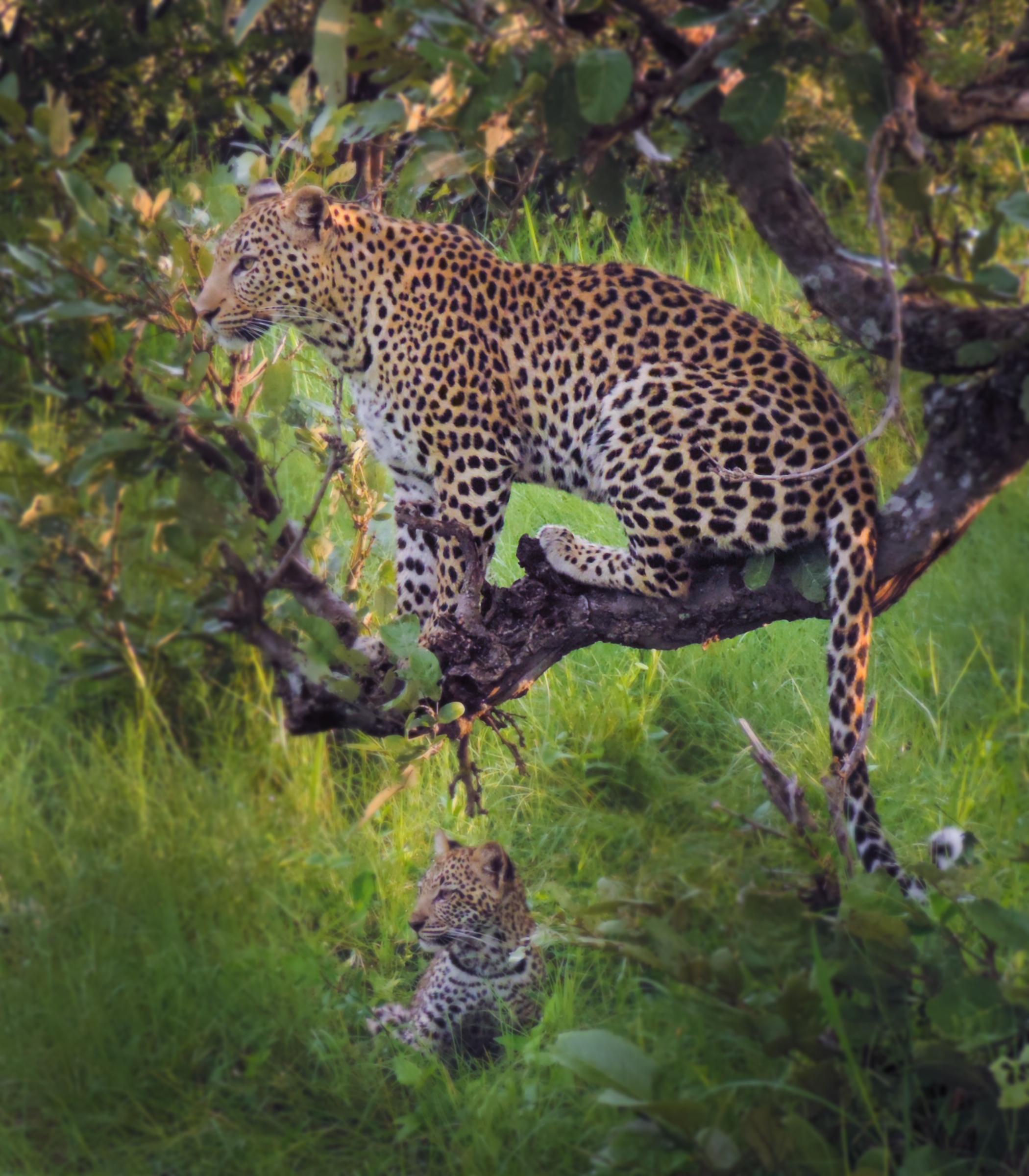 Lagoon - Leopards