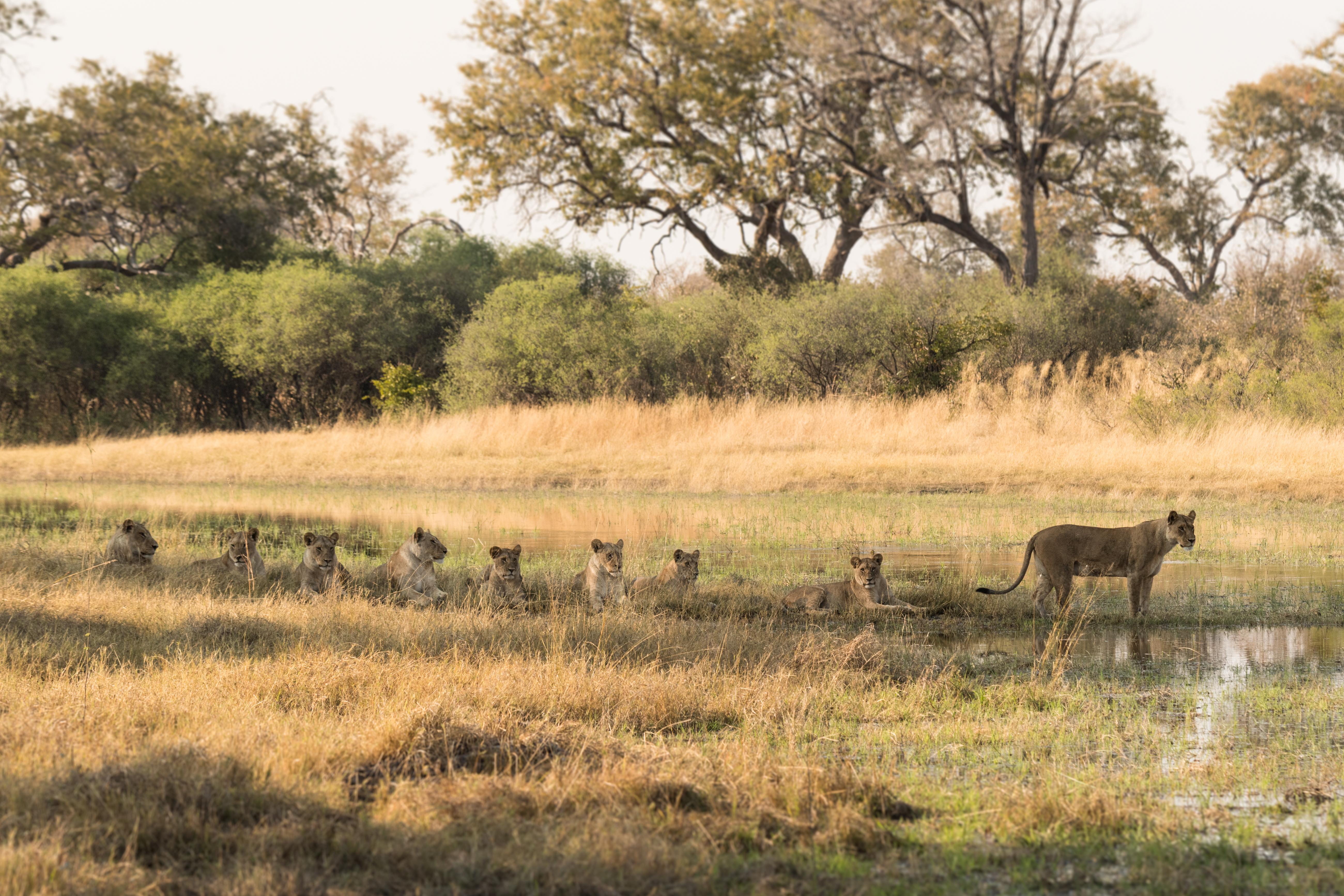 Lebala - Lions