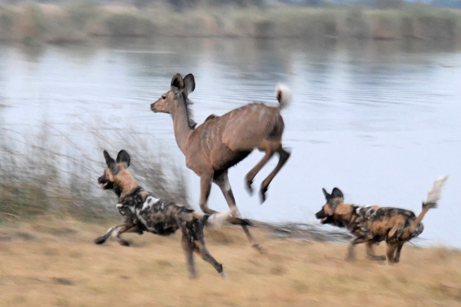 MaxSourgen.Cat4 wild dogs hunting_18h14 09sept_Rex Lagoon_NikonD200+Zoom18-200_Aventuria Fr