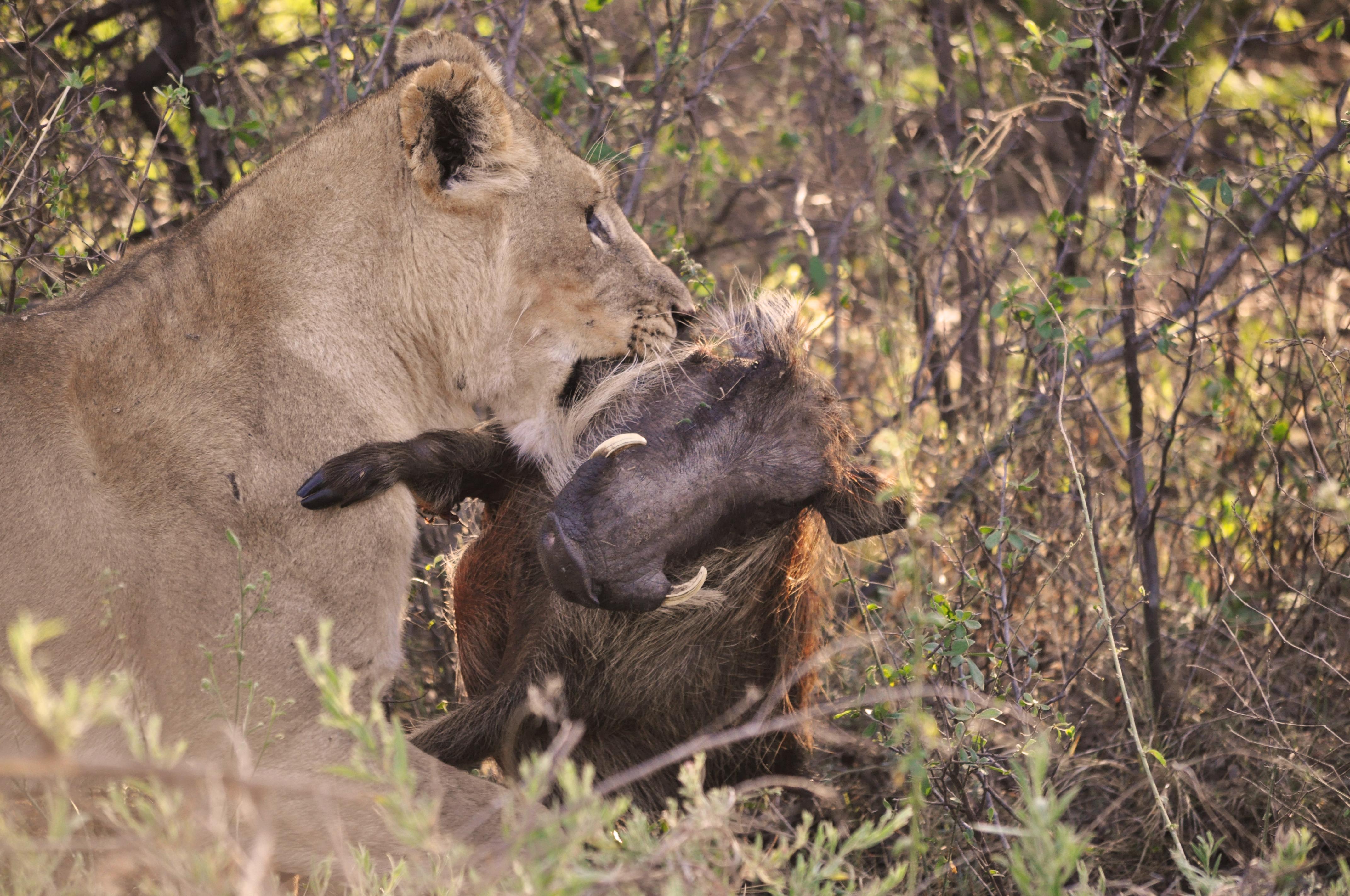 Lion (Panthera leo), Warthog (Phacochoerus africanus)