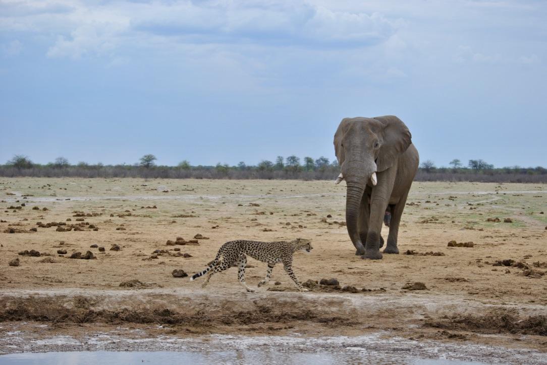 RWalker.Cat5Cheetah&Elephant
