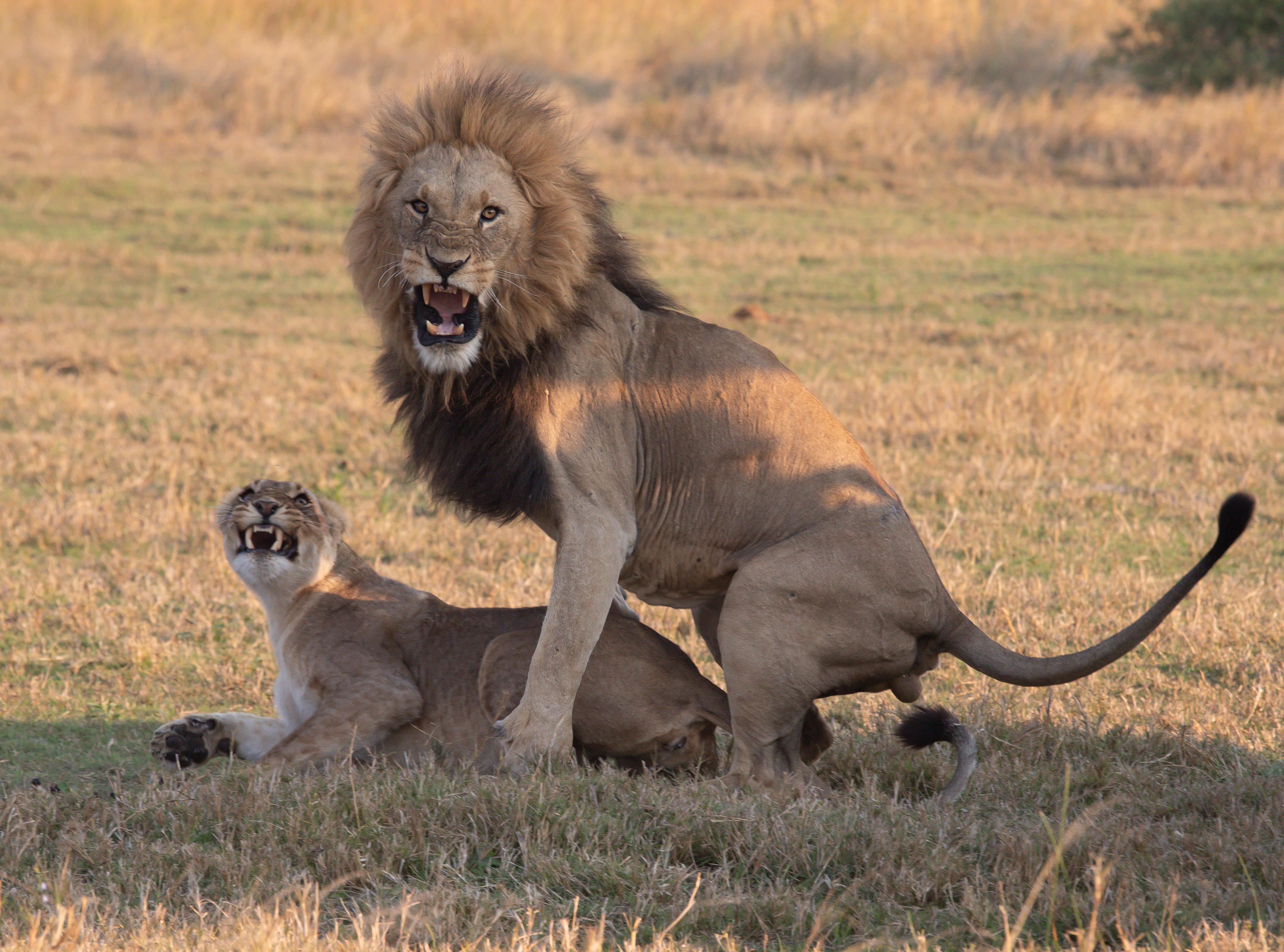 AForsythe.Cat1 Lions mating.jpg