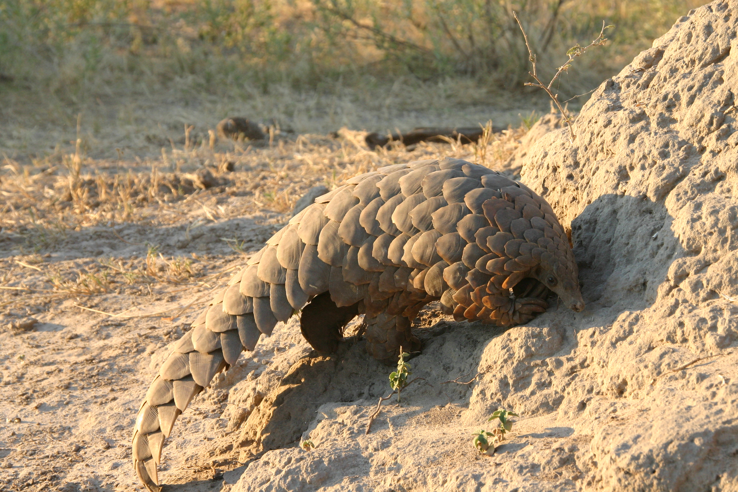 AWoodcock Cat2 Pangolin