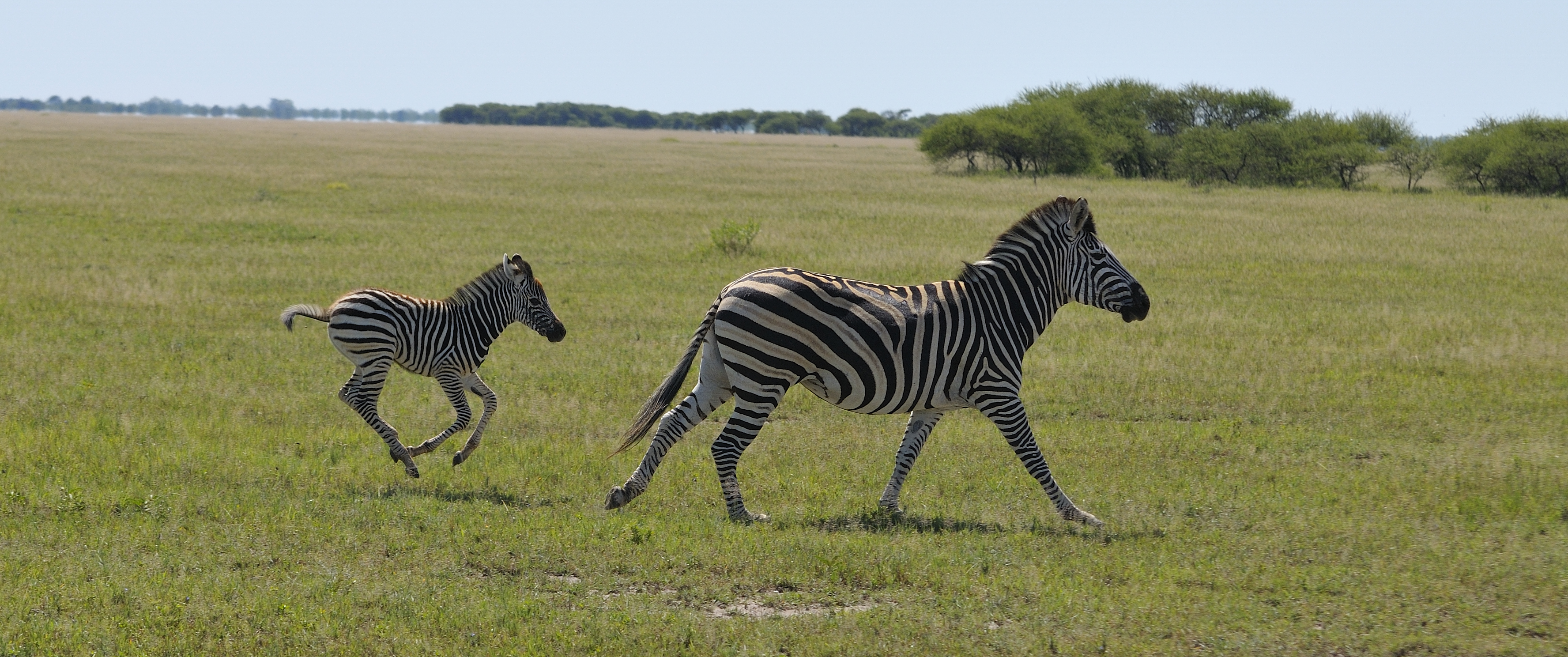 zebra mother and child in flight